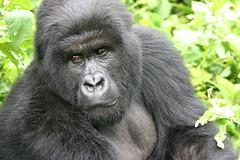 Lead Gorilla